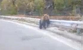 Мечка трчаше на патот Кичево – Охрид (ВИДЕО)