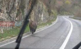 ШОУТАЈМ: Дива свиња трча на Стража (фото)