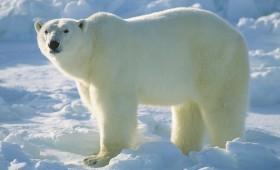 На поларните мечки им се заканува исчезнување кон крајот на векот