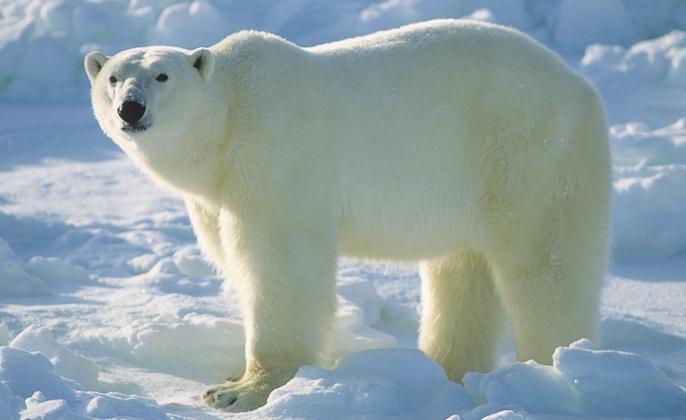 polarna mecka